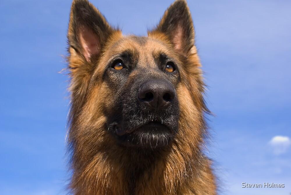 German Shepherd by Steven Holmes