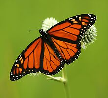 Monarch Magic by Jayne
