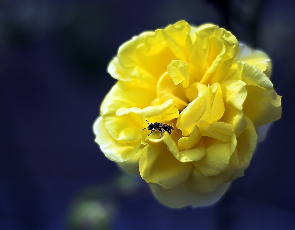 Yellow Rose by Moth