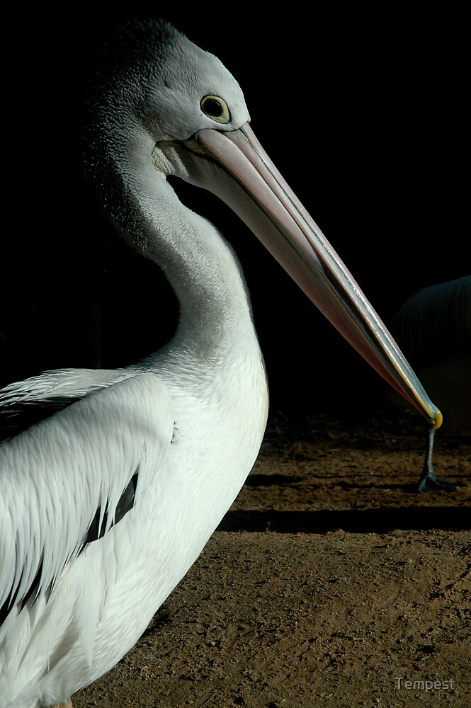 Adelaide Zoo - Pelican by Tempest