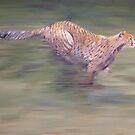 Cheetah running by Andy  Housham