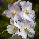 Dog Roses by PhotosByHealy