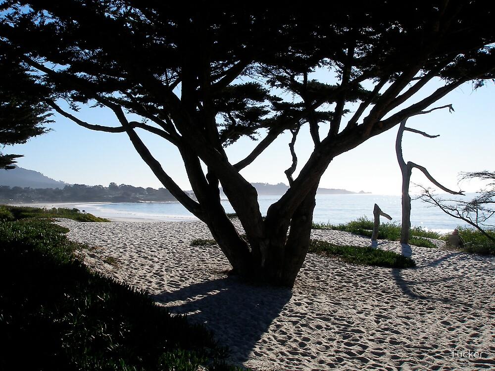 Cypress Tree Carmel Beach by Tucker