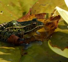 Green Spotted Frog by kenspics