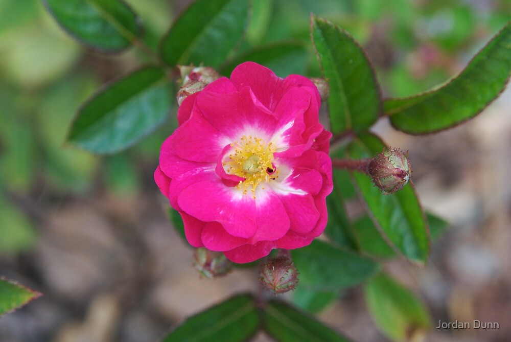 Pink Perfection by Jordan Dunn