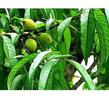Green Peaches On Peach Tree Photographic Print