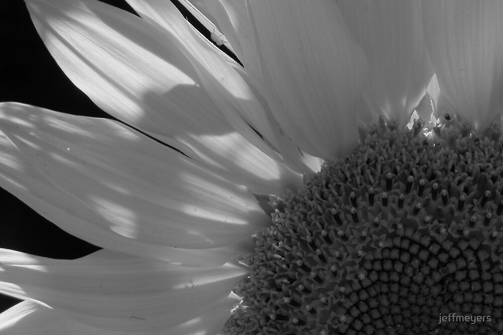 Sunflower by jeffmeyers