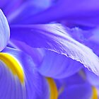 Blue Flag Iris by Mary  Lane