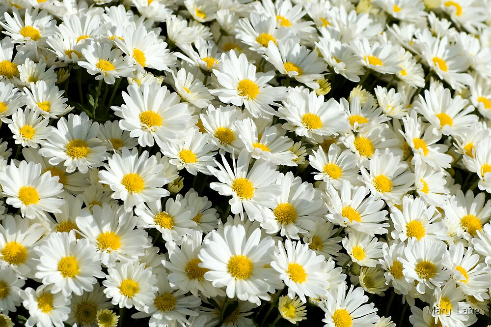 Carpet of Daisies by Mary  Lane