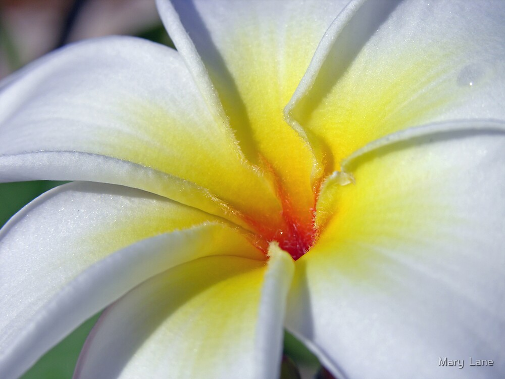 Frangipani by Mary  Lane