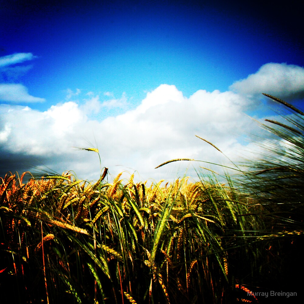 wheat field by Murray Breingan