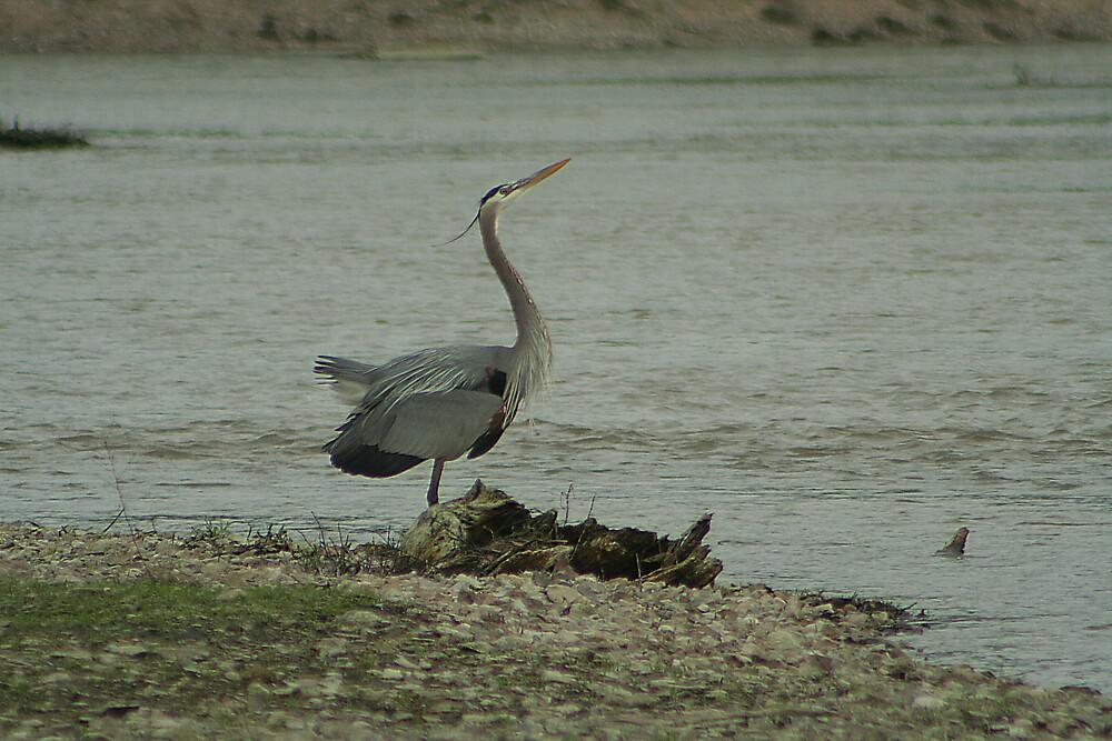 Great Blue Heron by dana2006