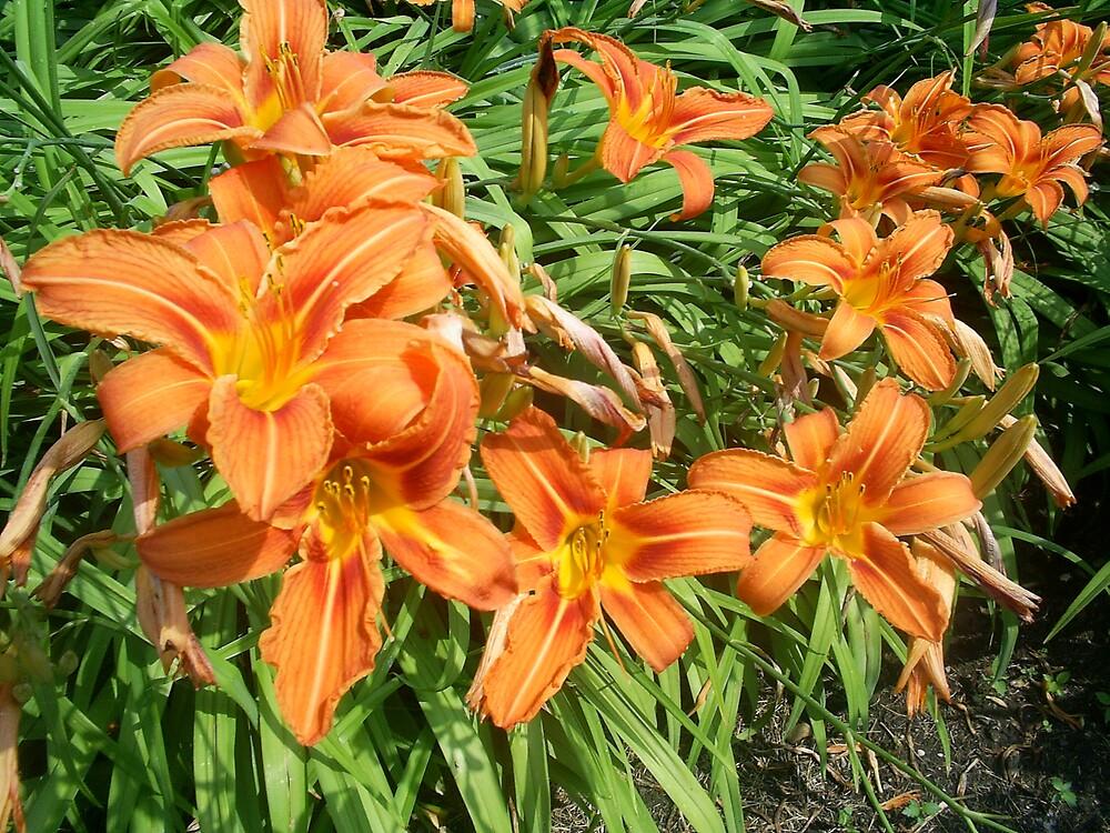orange lilies by oilersfan11
