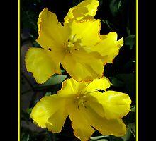Tulips by kodofotos