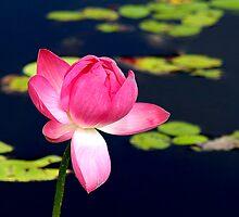 Pink.. by Janine  Hewlett