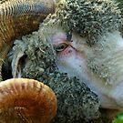 Old Sheep by kaneko