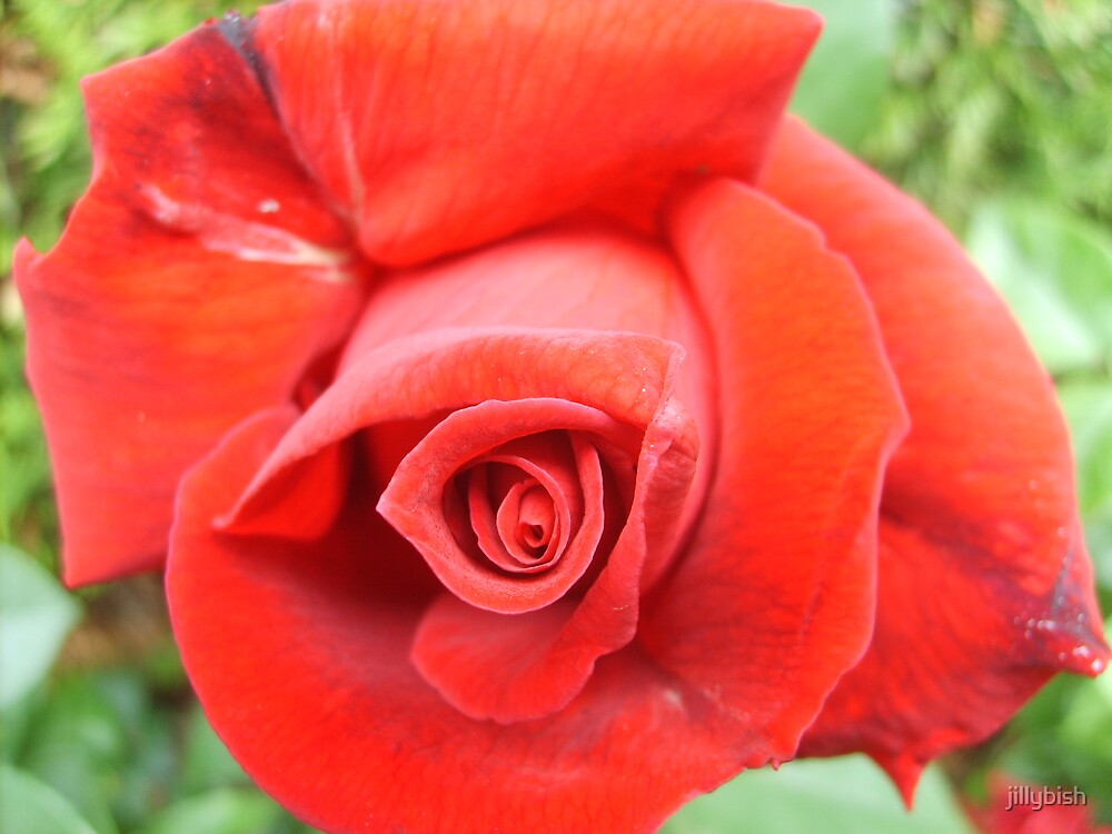 English Rose by jillybish