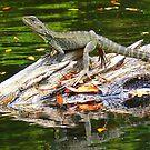 Snowy river water dragon Marlo Vic. by helmutk