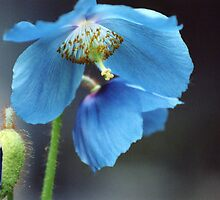 My blue poppy by amadge