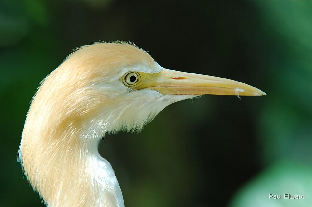 Yellow Egret by Paul Elward