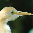 Yellow Egret by Paul Elward
