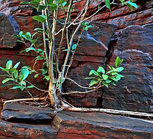 Fig Detail, Joffre Gorge, Karijini NP by Mark Boyle
