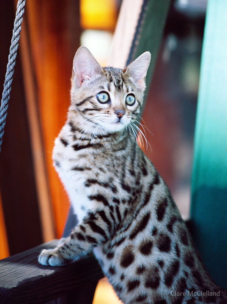 Bengal Kitten 2 by Clare McClelland
