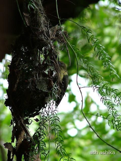 hummingbird by ash ashika