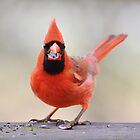 Cardinal by Laurie Minor