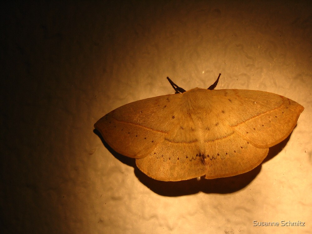 beautiful moth, Queensland, Australia by Susanne Schmitz