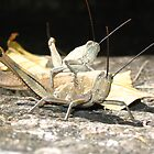 gras hoppers in Queensland, Australia by Susanne Schmitz