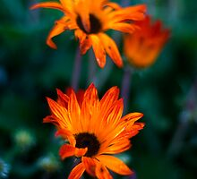 STH AFRICAN DAISIES 2 by hugo
