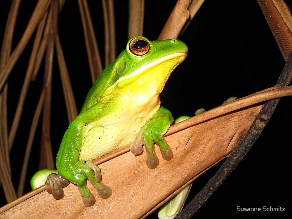 whitelip tree frog - northern Queensland, Australia by Susanne Schmitz