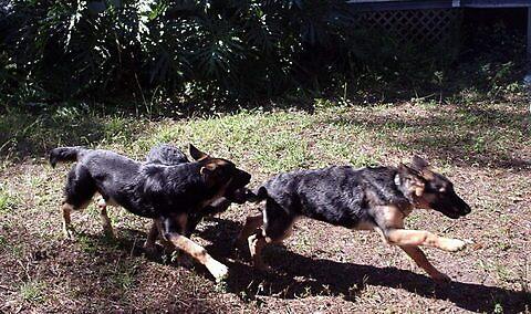 Racing German Shepherds by delacruzgs