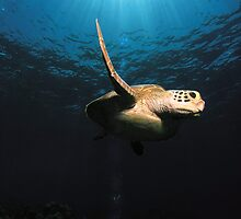 sea turtle - great barrier reef - Cairns, Australia by Susanne Schmitz
