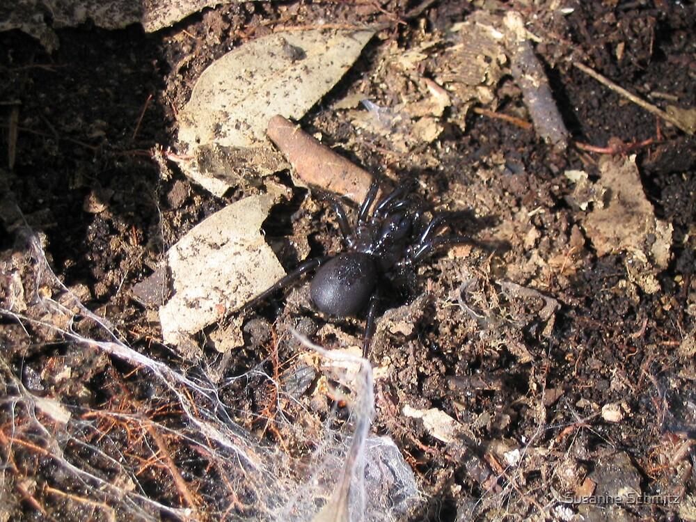 funnel web spider - Atrax robustus by Susanne Schmitz