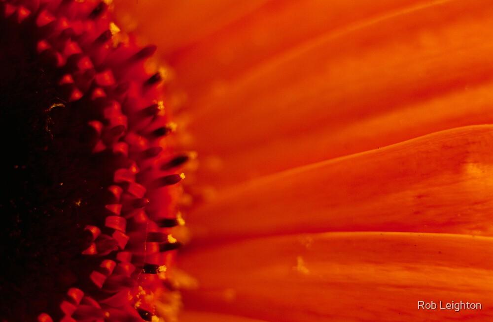 Gerbera Closeup by Rob Leighton