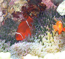 clownfish by Susanne Schmitz