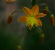 Orange Bulbine by photojeanic