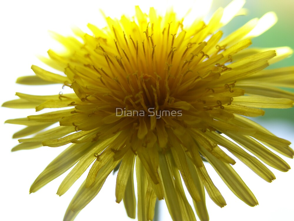 Yellow by Diana Symes