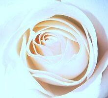White Rose by kathybfas
