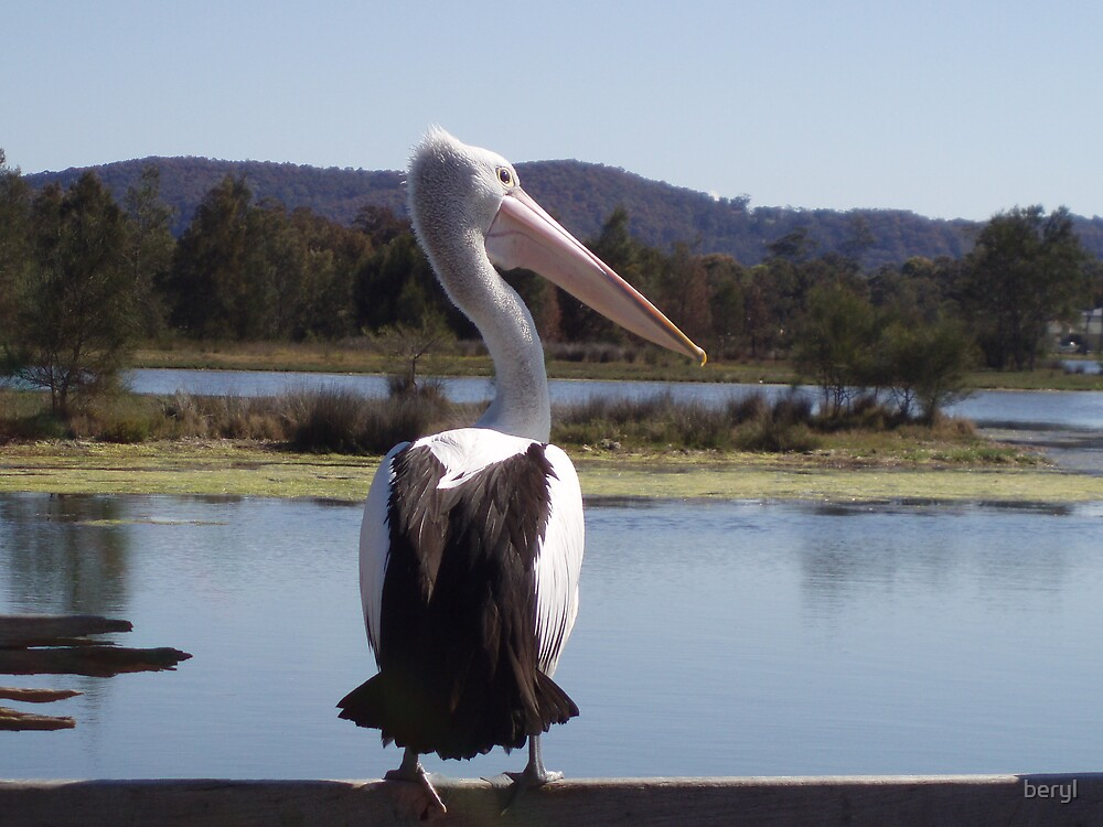 Pelican at Tuggerah Lake Central Coast NSW by Beryl Withnell