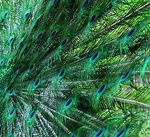 Peacock Feathers by shane22