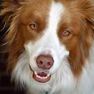 Beautiful Border Collie by Tiffany Dryburgh