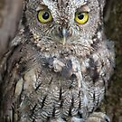 Screech owl close up by alan tunnicliffe