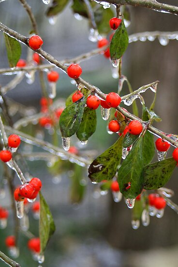 Ice Berries by Scott  Remmers