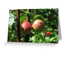 Sunlit Red Apples, Lost Gardens of Heligan, Cornwall Greeting Card