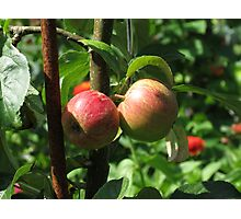 Sunlit Red Apples, Lost Gardens of Heligan, Cornwall Photographic Print