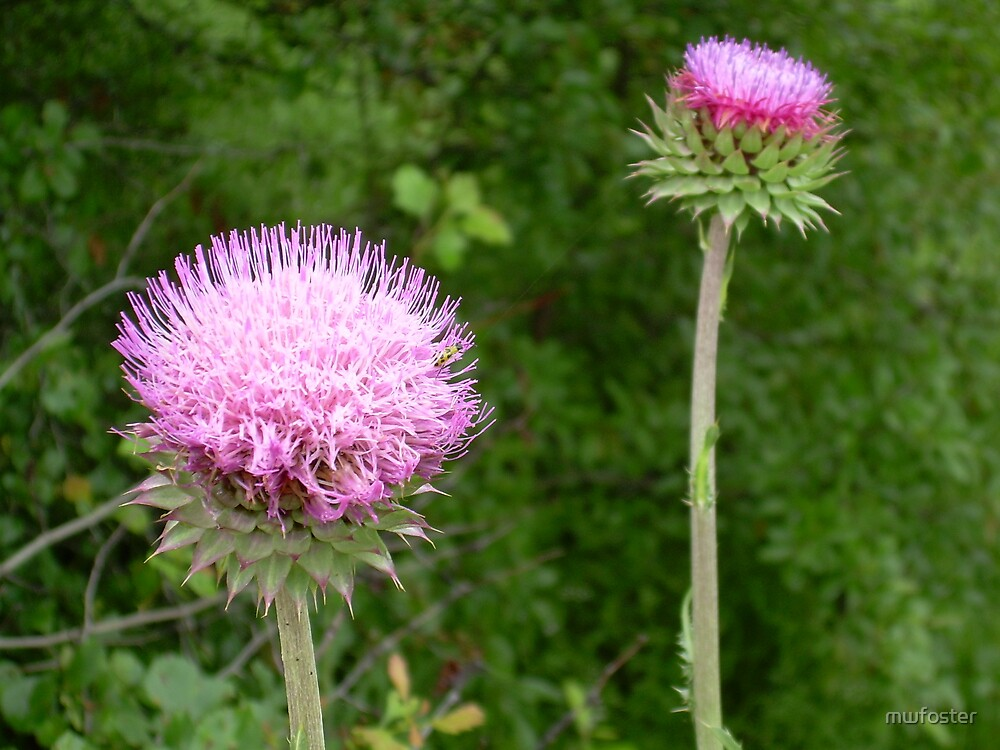 American Thistle by mwfoster