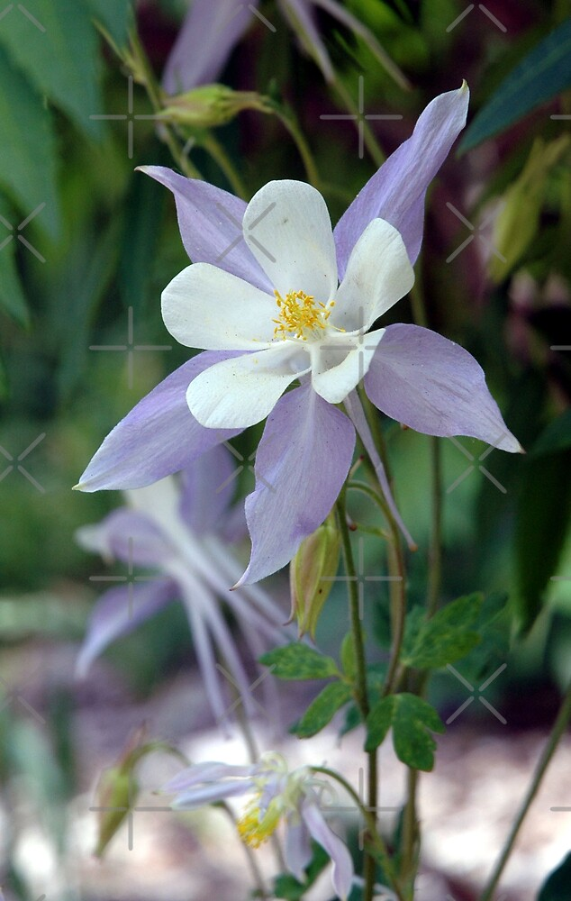 Blue Columbine by Holly Werner